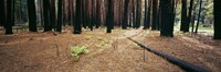 "Burnt pine trees in a forest, Yosemite National Park, California, USA by Panoramic Images - 36"" x 12"""