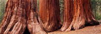 "Trees at Sequoia National Park, California, USA by Panoramic Images - 36"" x 12"""