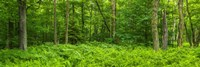 "Ferns blanketing floor of summer woods near Old Forge in the Adirondack Mountains, New York State, USA by Panoramic Images - 36"" x 12"""