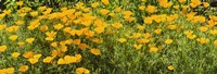 """California poppies (Eschscholzia californica) in bloom by Panoramic Images - 36"""" x 12"""""""