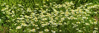 """German chamomile (Matricaria chamomilla) in bloom by Panoramic Images - 36"""" x 12"""""""