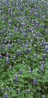 """High angle view of plants, Bluebonnets, Austin, Texas, USA by Panoramic Images - 13"""" x 27"""""""