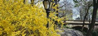 """Forsythia in bloom, Central Park, Manhattan, New York City, New York State, USA by Panoramic Images - 27"""" x 10"""""""