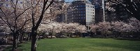 """White flowering trees in a park, Central Park, Manhattan, New York City, New York State, USA by Panoramic Images - 27"""" x 9"""""""