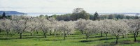 """Cherry trees in an orchard, Mission Peninsula, Traverse City, Michigan, USA by Panoramic Images - 27"""" x 9"""""""