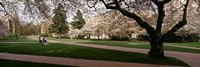 "Cherry trees in the quad of a university, University of Washington, Seattle, Washington State by Panoramic Images - 27"" x 9"""