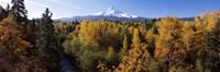 Cottonwood trees in a forest, Mt Hood, Hood River, Mt. Hood National Forest, Oregon, USA Fine Art Print