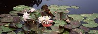 """Water lilies in a pond, Olbrich Botanical Gardens, Madison, Wisconsin by Panoramic Images - 27"""" x 9"""""""