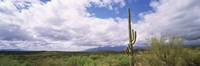 """Cactus in a desert, Saguaro National Monument, Tucson, Arizona, USA by Panoramic Images - 27"""" x 9"""""""