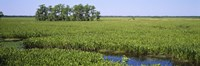 """Plants on a wetland, Jean Lafitte National Historical Park And Preserve, New Orleans, Louisiana, USA by Panoramic Images - 36"""" x 12"""""""