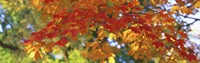 """Fall Foliage, Guilford, Baltimore City, Maryland, USA by Panoramic Images - 36"""" x 12"""""""