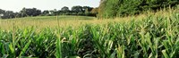 """Cornfield, Baltimore County, Maryland, USA by Panoramic Images - 36"""" x 12"""" - $34.99"""