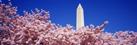 Washington Monument and cherry blossoms, Washington DC Fine Art Print