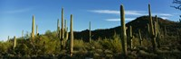 """Cactus by Panoramic Images - 36"""" x 12"""""""