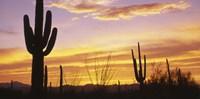 """Sunset Saguaro Cactus Saguaro National Park AZ by Panoramic Images - 36"""" x 18"""" - $45.99"""