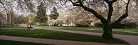 """Cherry trees in the quad of a university, University of Washington, Seattle, Washington State by Panoramic Images - 36"""" x 12"""""""