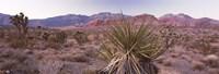 Yucca plant in a desert, Red Rock Canyon, Las Vegas, Nevada, USA Fine Art Print