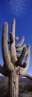 Close up of Saguaro cactus, Saguaro National Park, Tucson, Arizona by Panoramic Images - various sizes
