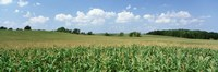 Corn Crop In A Field, Wyoming County, New York State, USA Fine Art Print