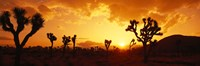 Sunset, Joshua Tree Park, California Fine Art Print