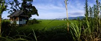 """Rice paddies in a field, Saga Prefecture, Kyushu, Japan by Panoramic Images - 27"""" x 9"""""""