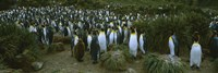 """High angle view of a colony of King penguins, Royal Bay, South Georgia Island, Antarctica by Panoramic Images - 27"""" x 9"""""""