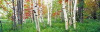 "Birch trees in a forest, Acadia National Park, Maine by Panoramic Images - 27"" x 9"""