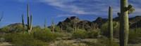 Cactus plant on a landscape, Sonoran Desert, Organ Pipe Cactus National Monument, Arizona, USA Fine Art Print
