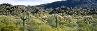 "Saguaro cactus (Carnegiea gigantea) in a field, Sonoran Desert, Arizona, USA by Panoramic Images - 27"" x 9"""