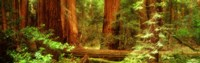 Muir Woods, Trees, National Park, Redwoods, California Fine Art Print