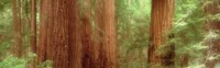 """Redwood Trees, Muir Woods, California, USA, by Panoramic Images - 27"""" x 9"""""""