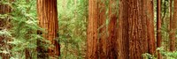 """Redwoods Muir Woods CA USA by Panoramic Images - 27"""" x 9"""""""