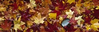 """Maple leaves by Panoramic Images - 27"""" x 9"""""""