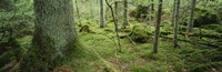 """Close-up of moss on a tree trunk in the forest, Siggeboda, Smaland, Sweden by Panoramic Images - 27"""" x 9"""""""