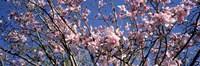 "Magnolias, Golden Gate Park, San Francisco, California, USA by Panoramic Images - 27"" x 9"""