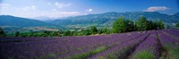 """Lavender Fields, La Drome Provence, France by Panoramic Images - 27"""" x 9"""""""