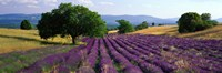 """Flowers In Field, Lavender Field, La Drome Provence, France by Panoramic Images - 27"""" x 9"""", FulcrumGallery.com brand"""