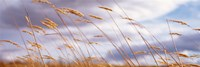Wheat Stalks Blowing, Crops, Field, Open Space Fine Art Print
