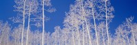 """Low angle view of aspen trees in a forest, Utah, USA by Panoramic Images - 27"""" x 9"""""""