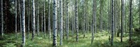 White Birches Aulanko National Park Finland Fine Art Print