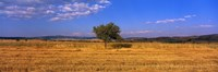Wheat Field Central Anatolia Turkey