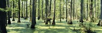 """Cypress trees in a forest, Shawnee National Forest, Illinois, USA by Panoramic Images - 27"""" x 9"""""""