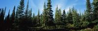 Banff Pine Trees Alberta Canada