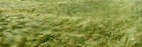 """Grain Field In Wind, (Near Lorelei,) Germany by Panoramic Images - 27"""" x 9"""", FulcrumGallery.com brand"""