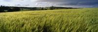 Barley Field Wales United Kingdom