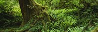 "Ferns and vines along a tree with moss on it, Hoh Rainforest, Olympic National Forest, Washington State, USA by Panoramic Images - 27"" x 9"" - $28.99"