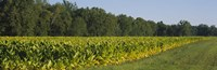 Crop of tobacco in a field, Winchester, Kentucky, USA Fine Art Print