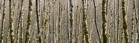 "Trees in the forest, Red Alder Tree, Olympic National Park, Washington State, USA by Panoramic Images - 27"" x 9"""