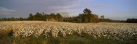 Cotton plants in a field, North Carolina, USA Fine Art Print