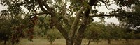 """Apple trees in an orchard, Sebastopol, Sonoma County, California, USA by Panoramic Images - 27"""" x 9"""""""